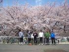 2011年4月 二ヶ領用水花見 1